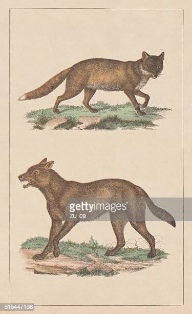 Red fox and wolf, lithograph, published in 1873