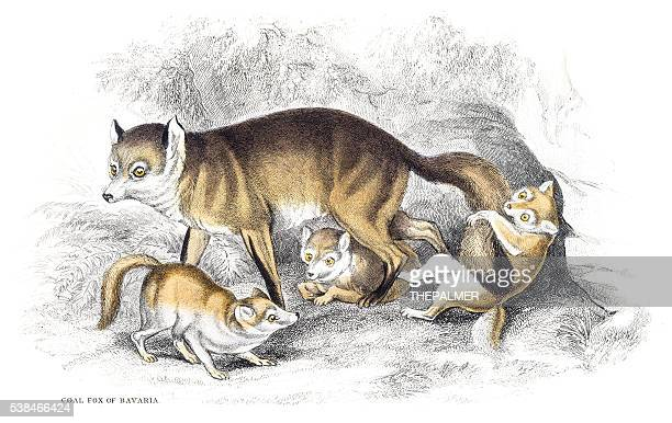 Red fox engraving 1840