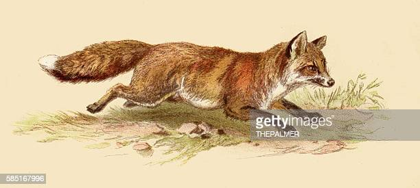 Red fox illustration 1888