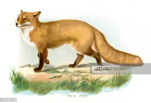 red fox lithograph 1897 - fox stock illustrations, clip art, cartoons, & icons