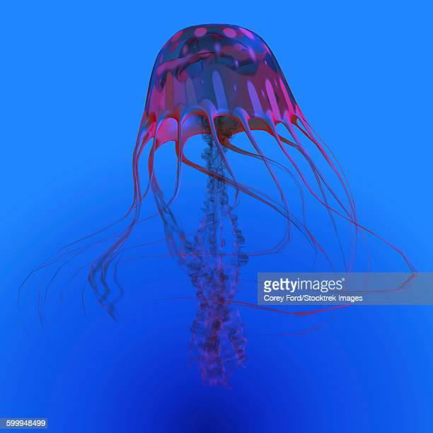 Red jellyfish illustration.