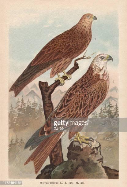 ilustrações, clipart, desenhos animados e ícones de papagaio-vermelho (milvus milvus), cromolitografia, publicado em 1896 - animais em extinção