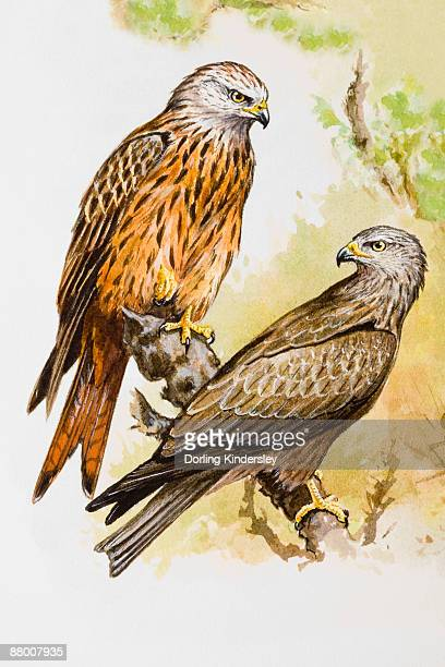 Red kite (Milvus milvus), two birds perching on a branch, one perching on top end of branch, the other looking over shoulder