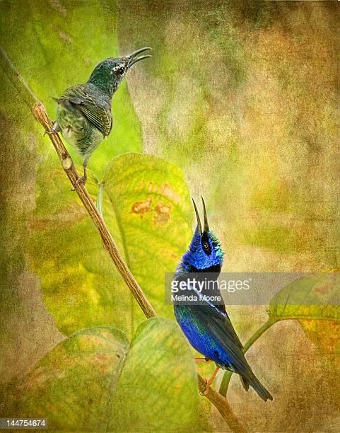 ilustraciones, imágenes clip art, dibujos animados e iconos de stock de red legged honeycreeper pair - animal vertebrado
