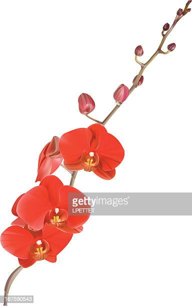 Red Orchid - Vector Illustration