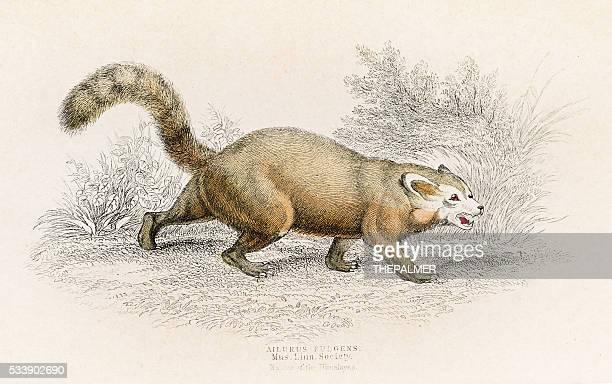 Red panda engraving 1855