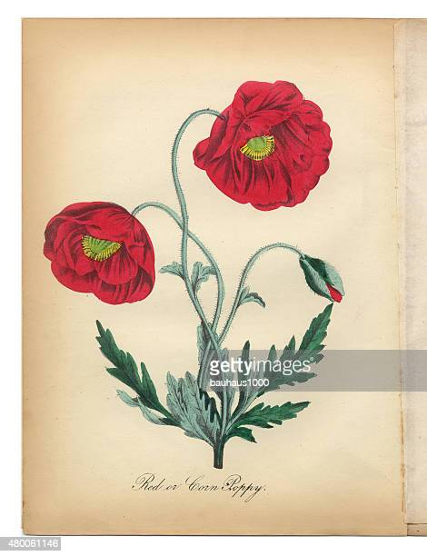 red poppy and corn poppy victorian botanical illustration - poppy stock illustrations, clip art, cartoons, & icons
