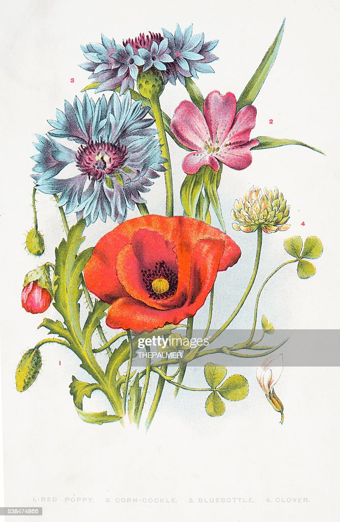 Red poppy and other wild flowers : stock illustration
