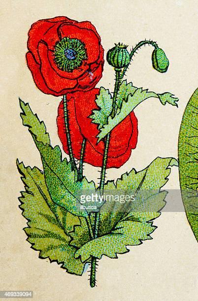 red poppy, plants antique illustration - opium poppy stock illustrations