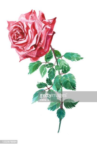 red rose one. flower on a white background.traditional watercolor - rose colored stock illustrations