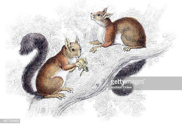 red squirrel - hand coloured engraving - squirrel stock illustrations
