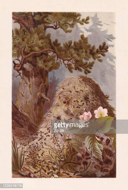 ilustraciones, imágenes clip art, dibujos animados e iconos de stock de hormiga de madera roja (formica rufa), cromolitografía, publicada en 1884 - biodiversidad
