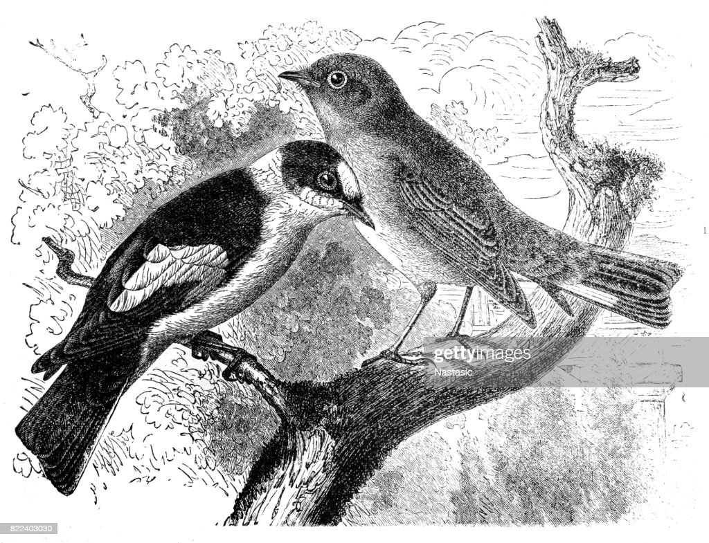 Red-Breasted Flycatcher - Muscicapa parva and Brown Flycatcher - Muscicapa collaris. : stock illustration