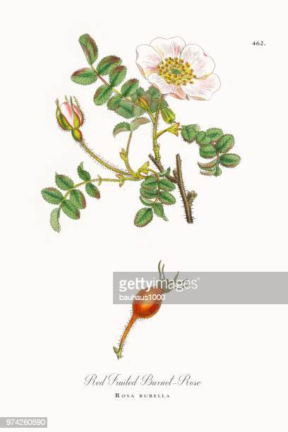 red-fruited burnet-rose, rosa rubella, victorian botanical illustration, 1863 - rose hip stock illustrations