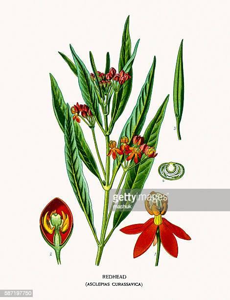 redhead milkweed flower - milkweed stock illustrations