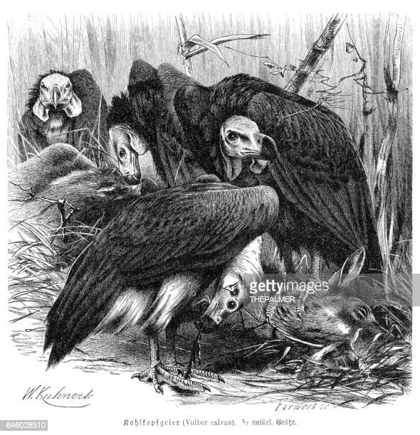 Red-headed vulture engraving 1892