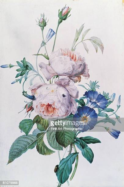 redoute roses - archival stock illustrations