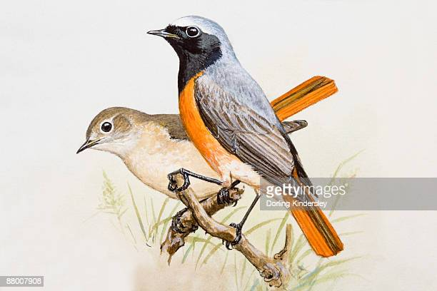 ilustraciones, imágenes clip art, dibujos animados e iconos de stock de redstart (phoenicurus phoenicurus), male and female, perching side by side, side view - dos animales