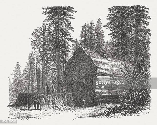 redwoods, wood engraving, published in 1882 - world record stock illustrations