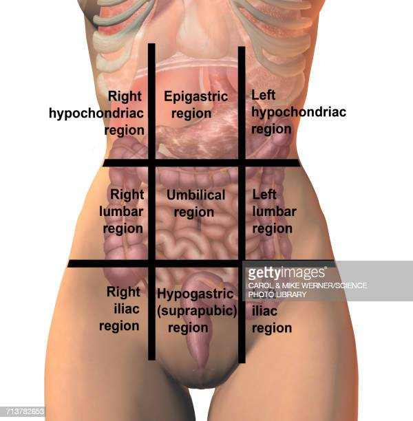 regions of the abdomen, illustration - stomach stock illustrations