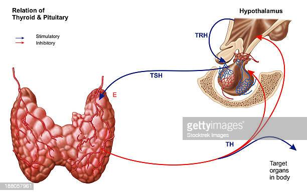 relation of thyroid and pituitary gland. - diencephalon stock illustrations, clip art, cartoons, & icons