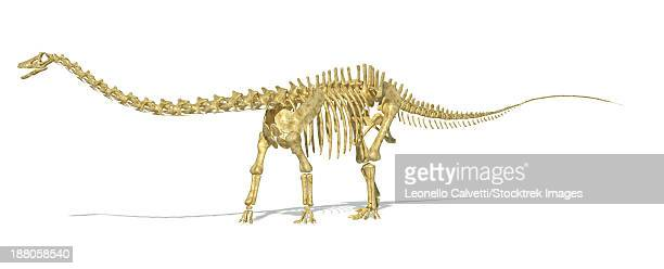 3D rendering of a Diplodocus dinosaur skeleton, side view. Diplodocus was a giant herbivorous dinosaur of the late Jurassic period.