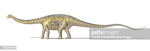 3D rendering of a Diplodocus dinosaur with full skeleton superimposed. Diplodocus was a giant herbivorous dinosaur of the late Jurassic period.