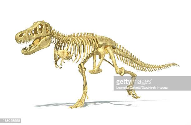 3D rendering of a Tyrannosaurus Rex dinosaur skeleton, perspective view. T-Rex was one of the largest carnivorous dinosaurs of the Cretaceous period.