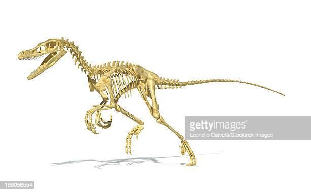 3d rendering of a velociraptor dinosaur skeleton, perspective view. - velociraptor stock illustrations