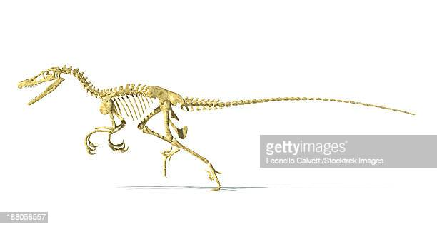 3d rendering of a velociraptor dinosaur skeleton, side view. - talon stock illustrations
