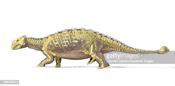 3D rendering of an Ankylosaurus dinosaur with full skeleton superimposed, side view. This armored dinosaur lived in the early Mesozoic era.