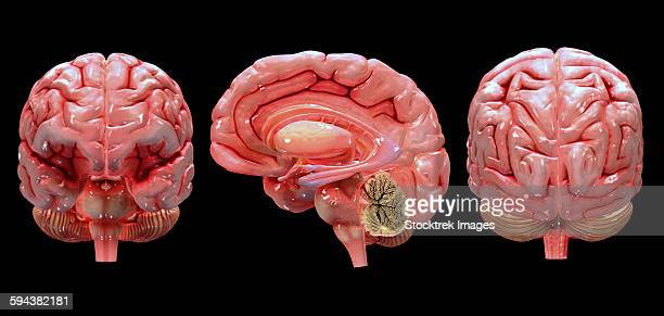 3d rendering of human brain. - temporal lobe stock illustrations, clip art, cartoons, & icons