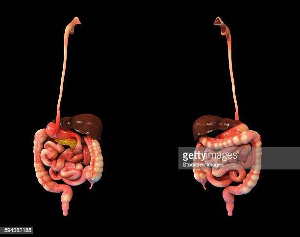 3d rendering of human digestive system. - human intestine stock illustrations, clip art, cartoons, & icons