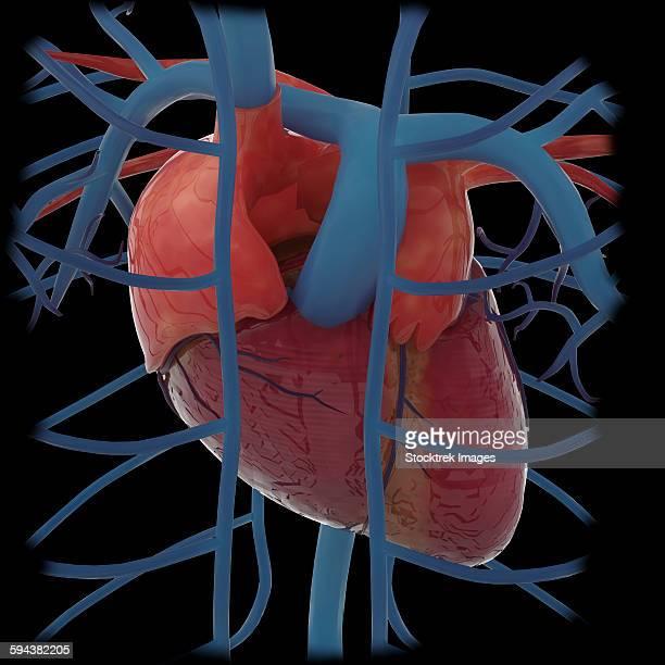 3d rendering of human heart and thoracic veins. - myocardium stock illustrations, clip art, cartoons, & icons