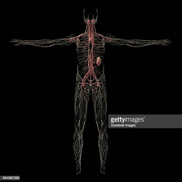 3D rendering of human lymphatic system.