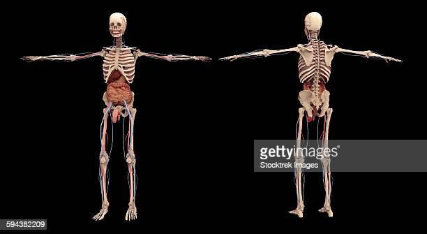 3d rendering of human skeleton with internal organs. - human intestine stock illustrations, clip art, cartoons, & icons