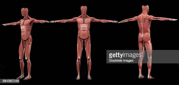 3d rendering of male muscular system at different angles. - forearm stock illustrations, clip art, cartoons, & icons