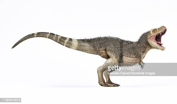 3d rendering of t-rex with feathers, side view on white background. - tail stock illustrations