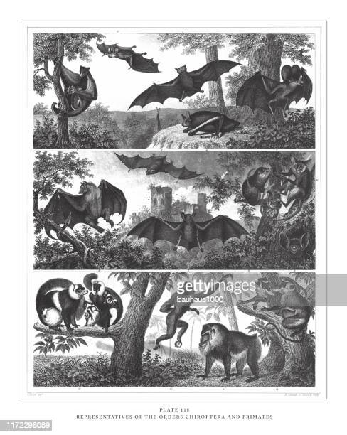 representatives of the orders chiroptera and primates engraving antique illustration, published 1851 - colugo stock illustrations