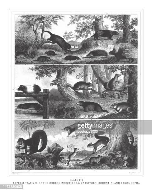 オーダー昆虫、カルニヴォラ、げっ歯類、ラゴモルファ彫刻アンティークイラストの代表者、1851年発行 - ヤマアラシ点のイラスト素材/クリップアート素材/マンガ素材/アイコン素材