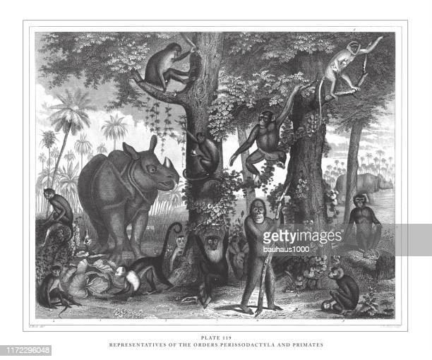 representatives of the orders perissodactyla and primates engraving antique illustration, published 1851 - mandrill stock illustrations, clip art, cartoons, & icons