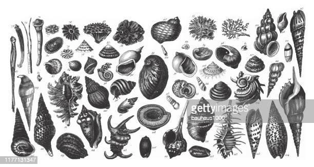 ilustrações de stock, clip art, desenhos animados e ícones de representatives of the phyla porifera, coelenterata and mollusca engraving antique illustration, published 1851 - concha do mar