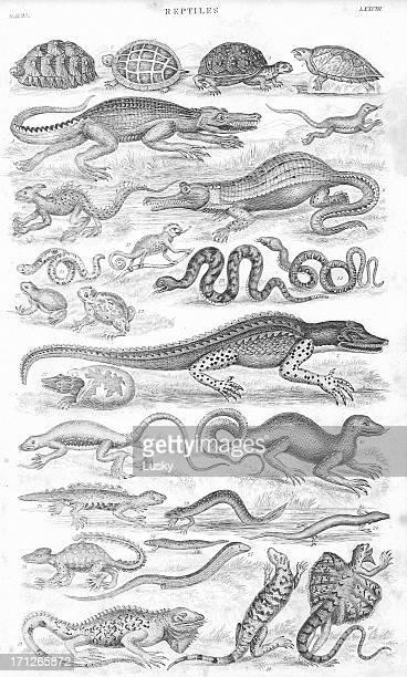 ilustraciones, imágenes clip art, dibujos animados e iconos de stock de reptiles old litho imprimir desde 1852 - iguana