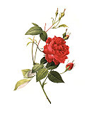 XXXL Resolution Rose | Antique Flower Illustrations