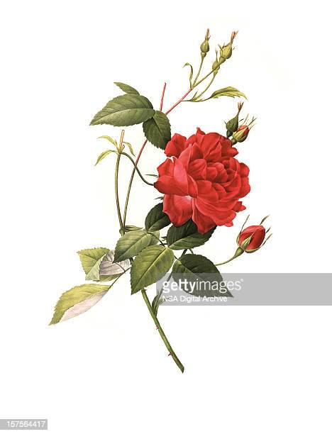 stockillustraties, clipart, cartoons en iconen met xxxl resolution rose | antique flower illustrations - illustratie