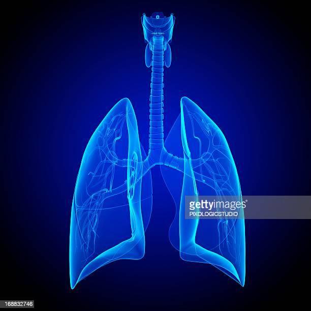 ilustraciones, imágenes clip art, dibujos animados e iconos de stock de respiratory system, artwork - pulmones humanos