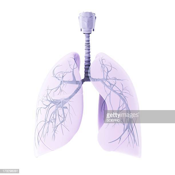 respiratory system, artwork - lung stock illustrations