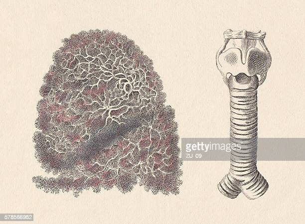 Respiratory system, lung and windpipe, hand-coloured steel engravings, published 1861