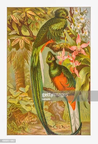 ilustraciones, imágenes clip art, dibujos animados e iconos de stock de resplandecientes trogón - fauna silvestre