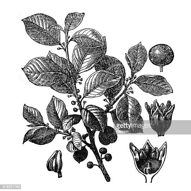 Rhamnus Frangula (Frangula alnus